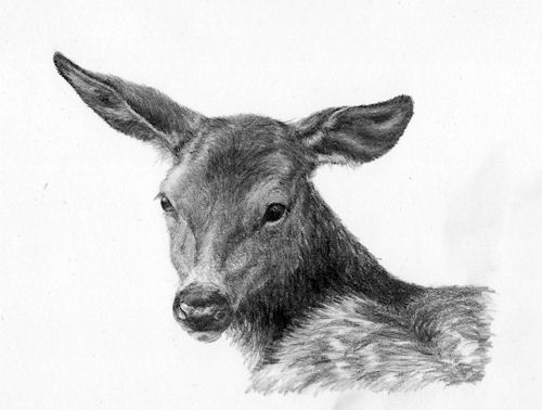 deer drawing, fawn, wildlife art, pencil drawing