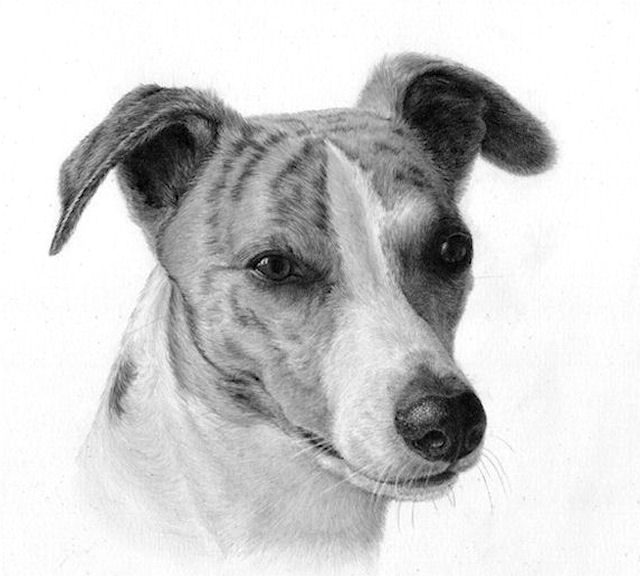 Annbert, greyhouind drawing, graphite, Kathrin Guenther, web file