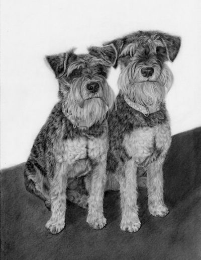 German Miniature Schnautzer, drawing, graphite, Kathrin Guenther, pet portrait