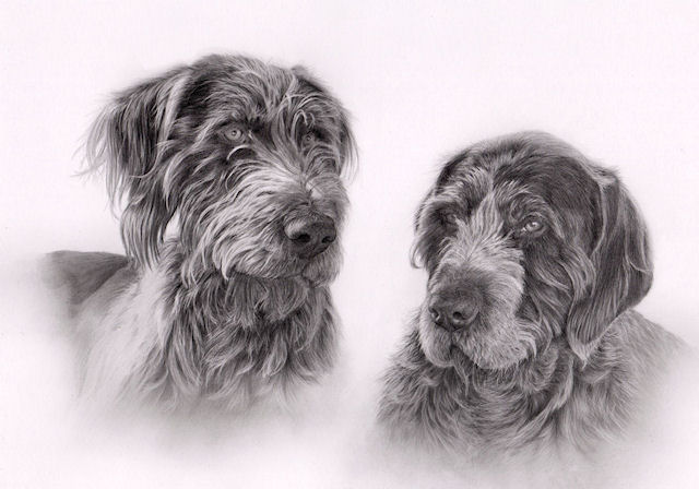 German wirehaired pointers by Kathrin Guenther, graphite art, pet art
