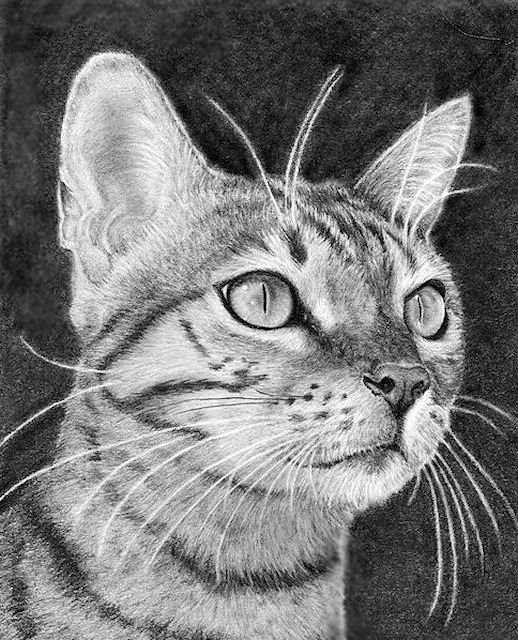 bengal cat, graphite drawing, Kathrin Guenther, web file
